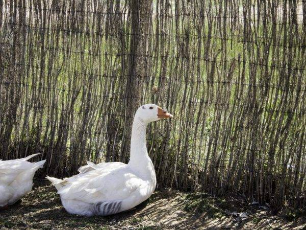 Обзор породы гусей линда: особенности содержания и выращивания
