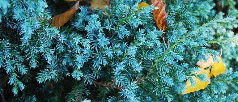 Juniperus conferta parl. описание таксона