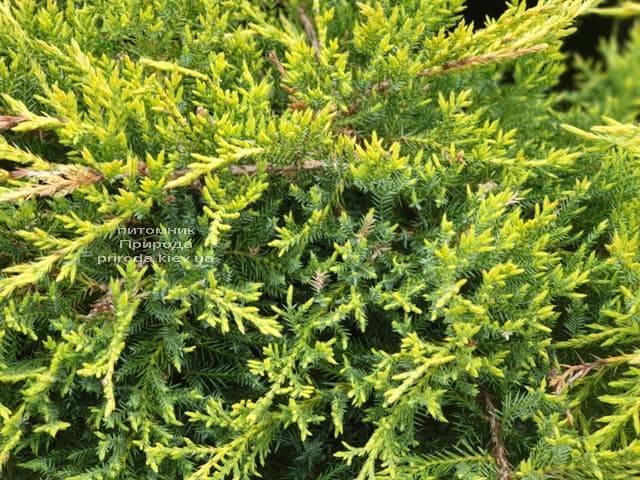 Можжевельник «голд стар» (32 фото): описание сорта среднего можжевельника. посадка и уход. использование в ландшафтном дизайне