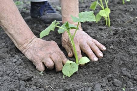 Выращивание огурцов по лунному календарю в 2020 году