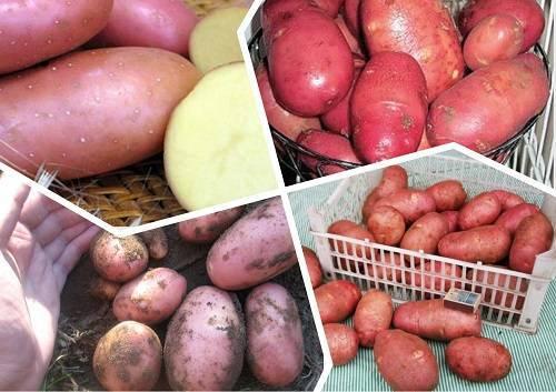 Картофель скарлет: описание и особенности сорта