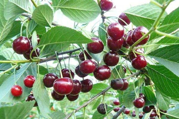 Выращивание вишни шоколадница