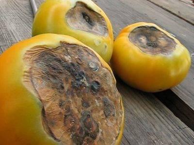 Почему у томатов желтеют листья в теплице, и как с этим бороться