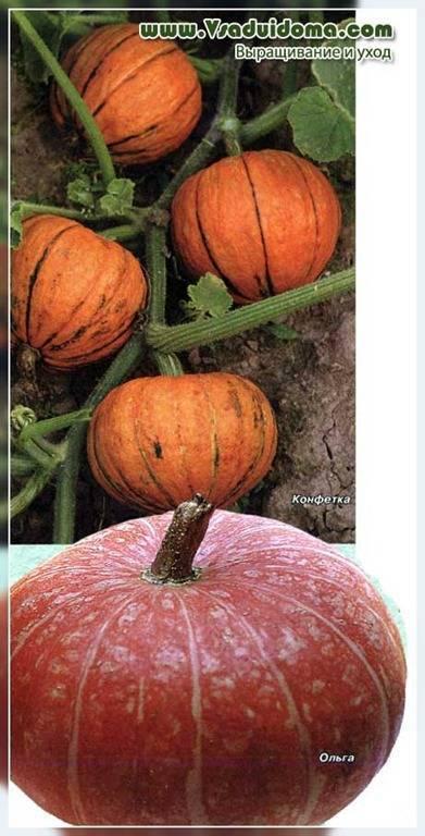 Описание тыквы сорта матильда f1, выращивание и уход