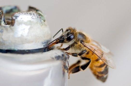 Особенности и характеристики среднерусской пчелы