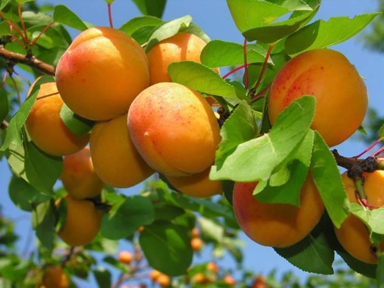 Водолей — абрикос для всех знаков зодиака