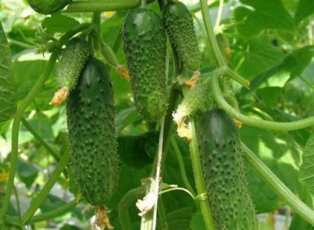 Индетерминантный партенокарпический гибрид огурцов универсального выращивания «изумрудные сережки f1»: фото, видео, описание, посадка, характеристика, урожайность, отзывы