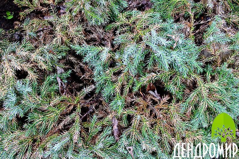 Можжевельник «хиберника» (26 фото): описание сорта можжевельника обыкновенного. посадка и уход. возможные болезни