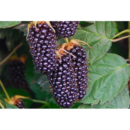 Ежевика коламбия стар — описание сорта, характеристика, выращивание, фото и отзывы