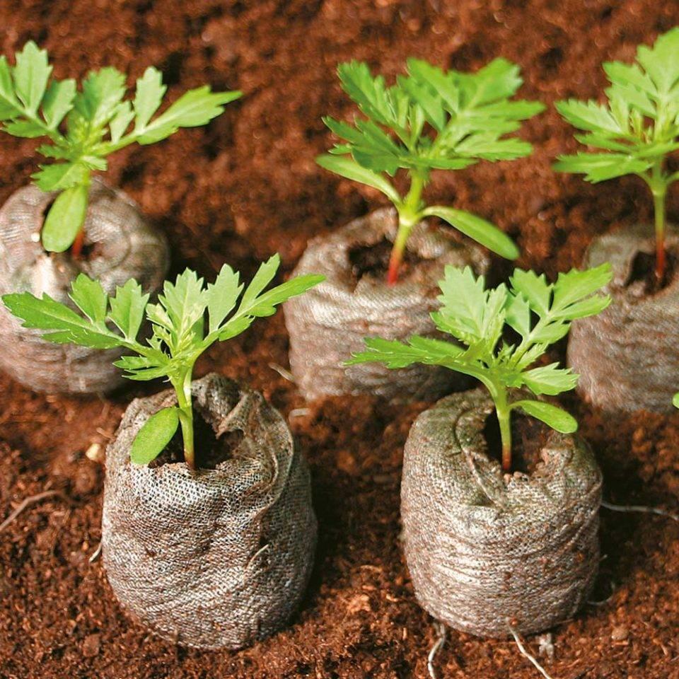 Выращивание рассады томатов в торфяных таблетках
