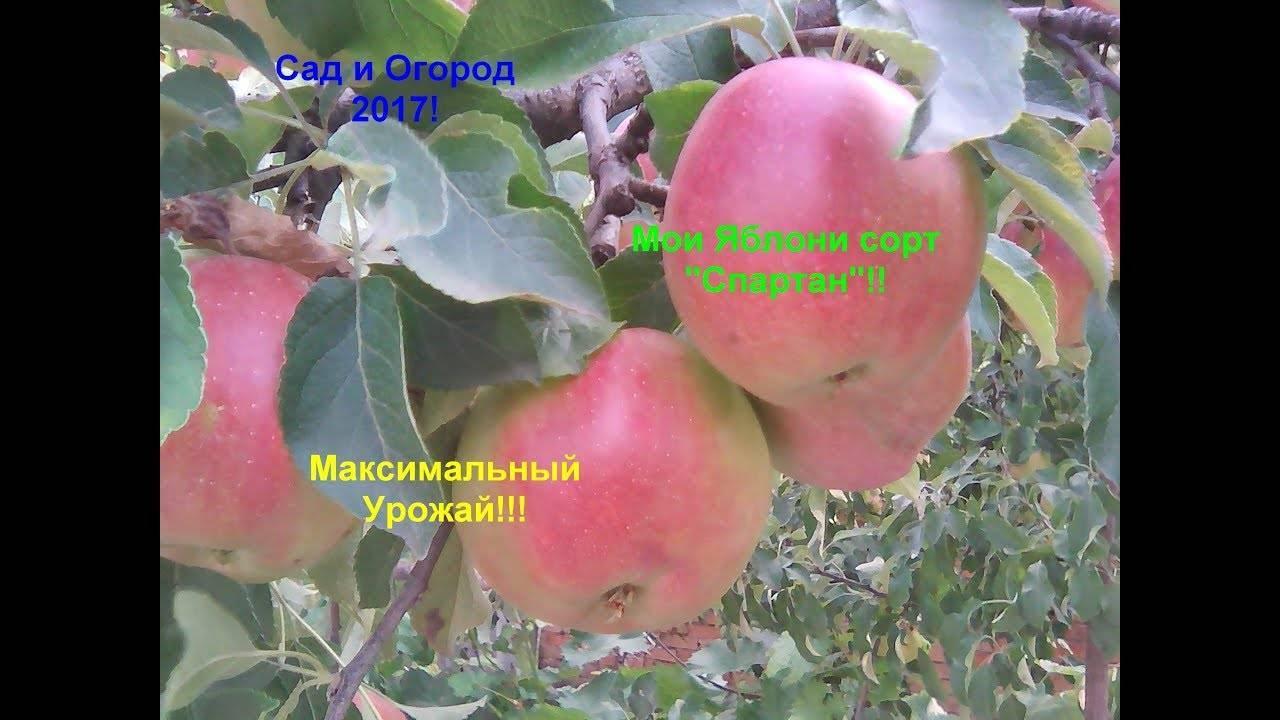 Сортовая яблоня спартан