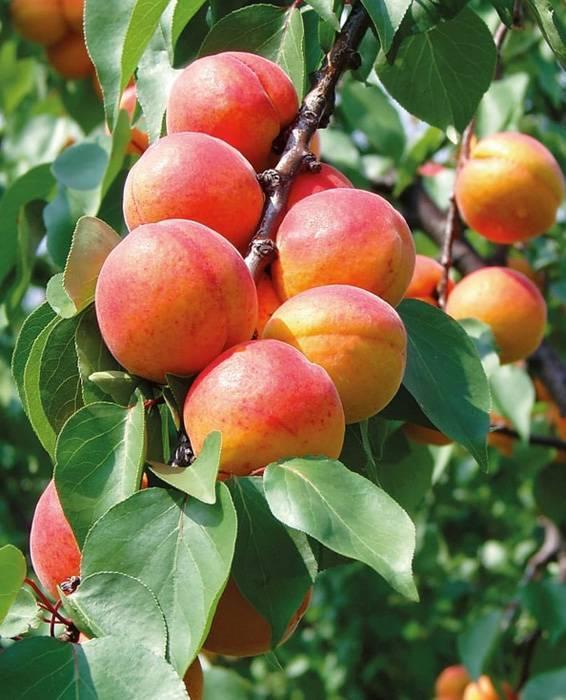 Абрикос чемпион севера: секреты щедрого урожая