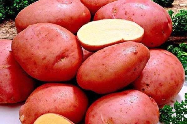 Описание сорта картофеля красавчик
