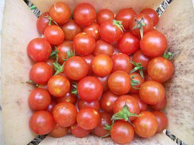 Проверенный метод как вырастить помидоры на подоконнике или балконе