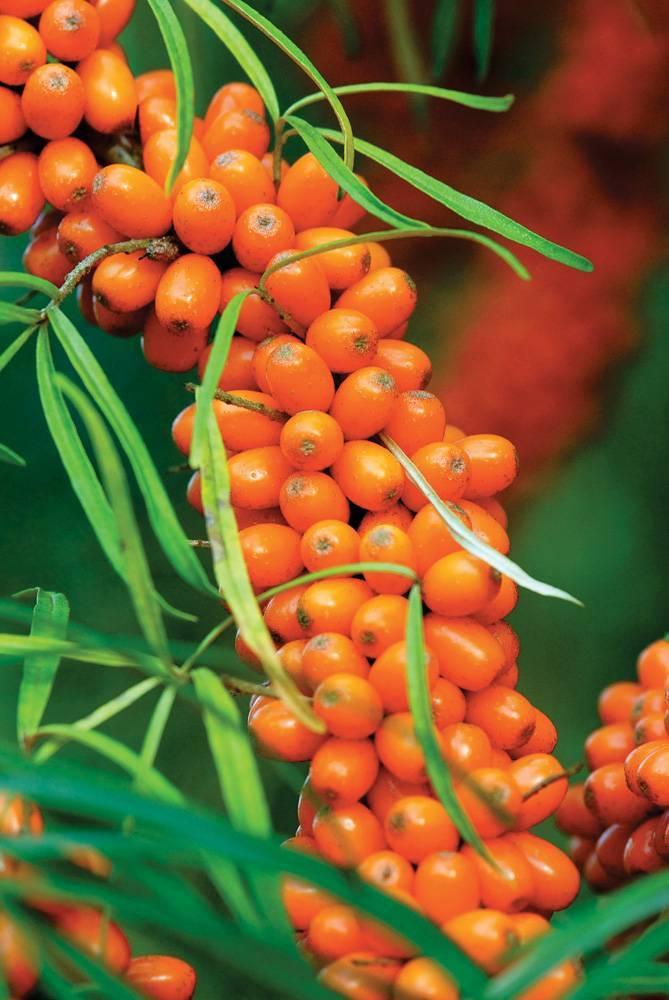 Облепиха превосходная — описание сорта, фото и отзывы садоводов