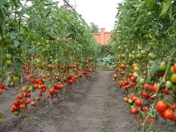 Выращивание томатов в открытом грунте подмосковья