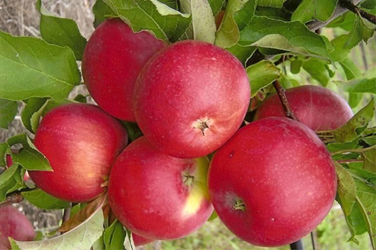 Яблоня медуница — основные характеристики сорта