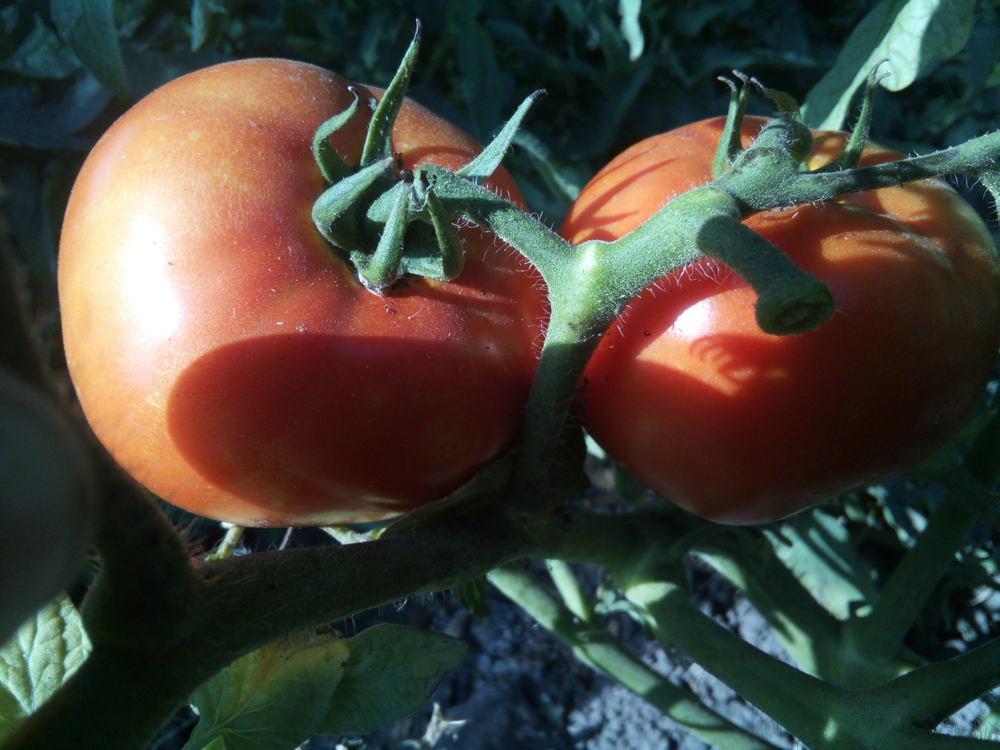 Томат большая мамочка характеристика и описание сорта. помидоры сорта большая мамочка: описание и фото