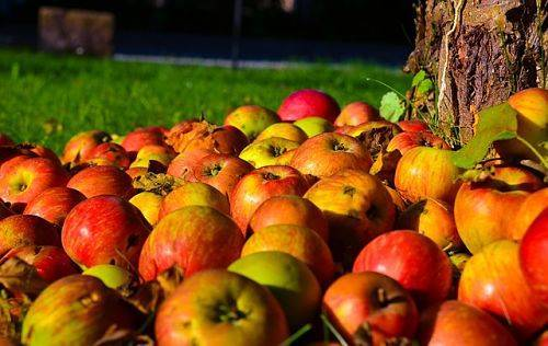 Чем можно подкормить грушу осенью чтобы был хороший урожай