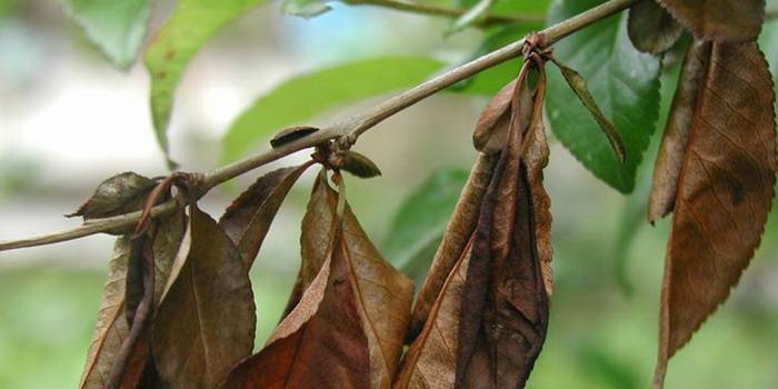 Почему на вишне не распускаются листья: разбираем в общих чертах