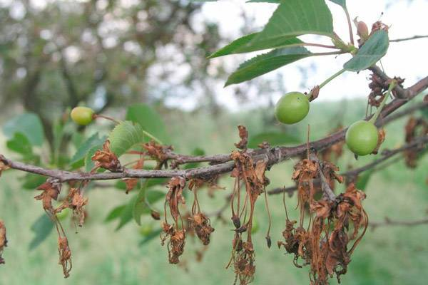 Особенности посадки и ухода за черешней сорта ревна