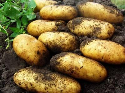Сорт картофеля «гренада»: характеристика, описание, урожайность, отзывы и фото