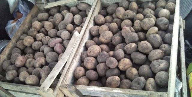 Картофель ирбитский - описание сорта, фото, рекомендации по выращиванию