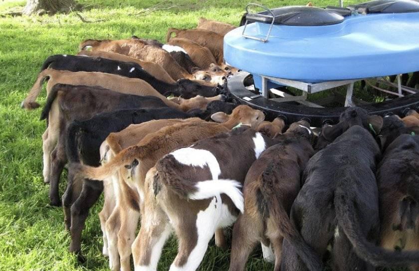 Сухое молоко для ягнят: как правильно выбрать и развести смесь или молоко