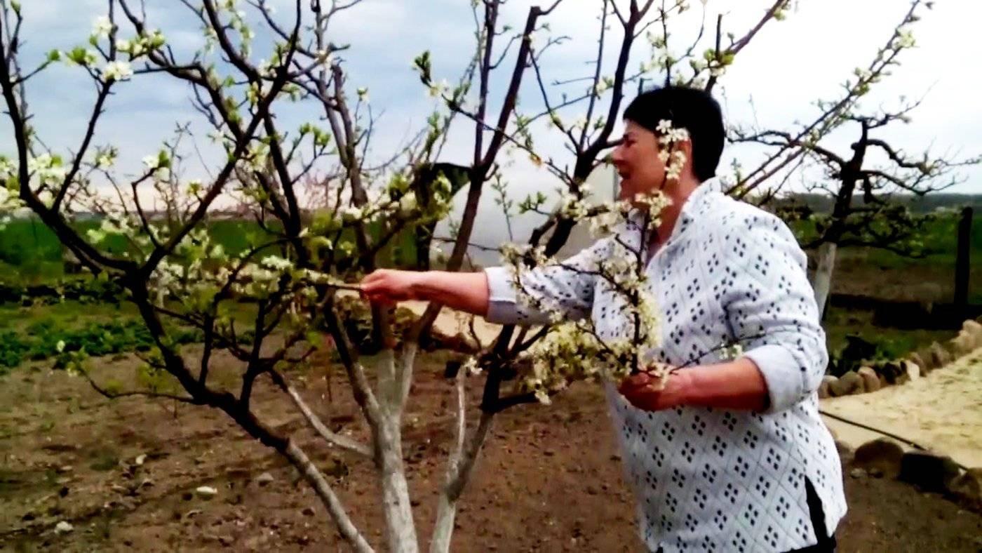 Слива красный шар — как вырастить китайский сорт в русском саду?