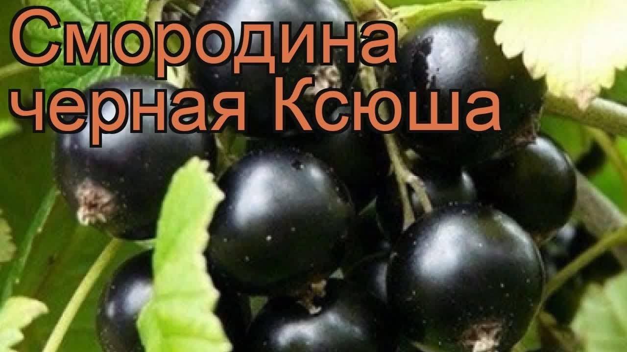 Смородина геркулес описание сорта фото отзывы