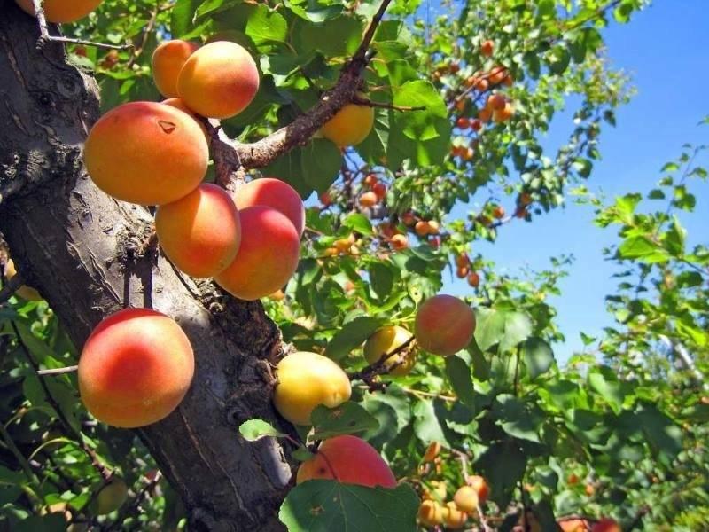 Краснощёкий абрикос: описание, посадка, выращивание и уход
