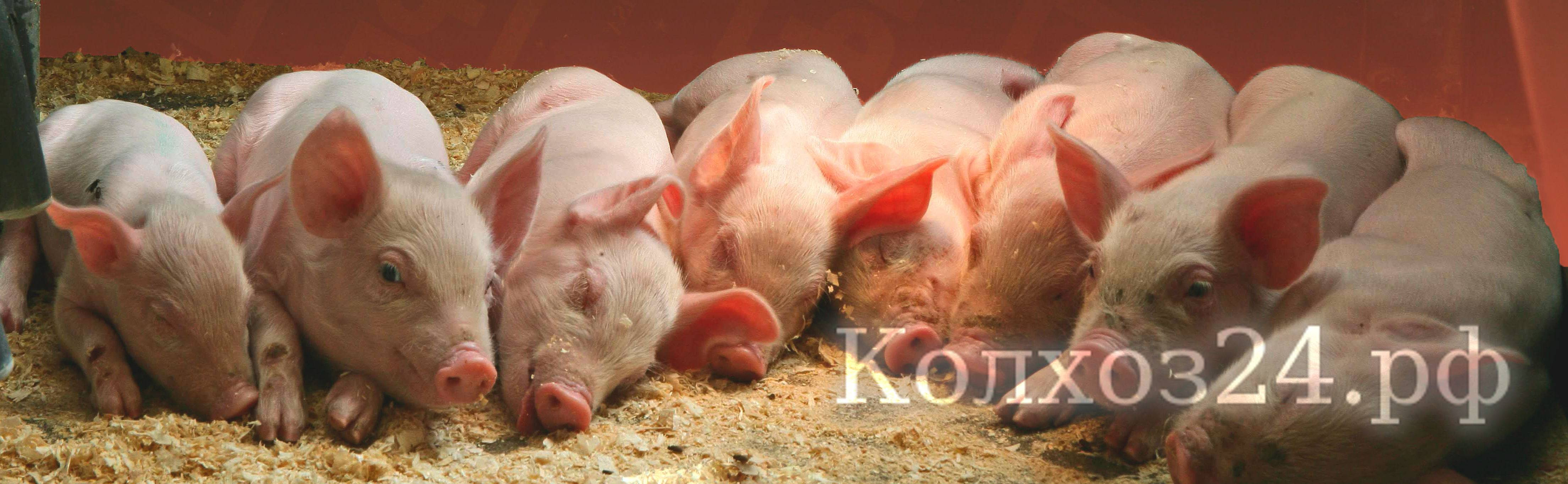 Подсказки как стимулировать охоту у свиноматок после отъема и у ремонтных свинок
