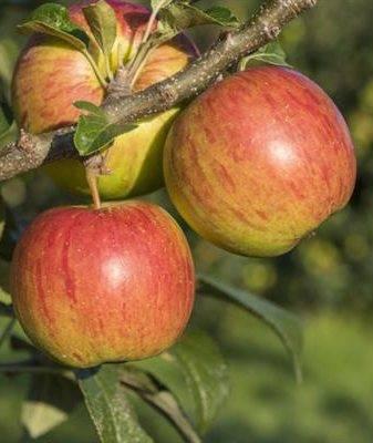 Яблоня дачная: описание сорта и его фото, характеристики и особенности