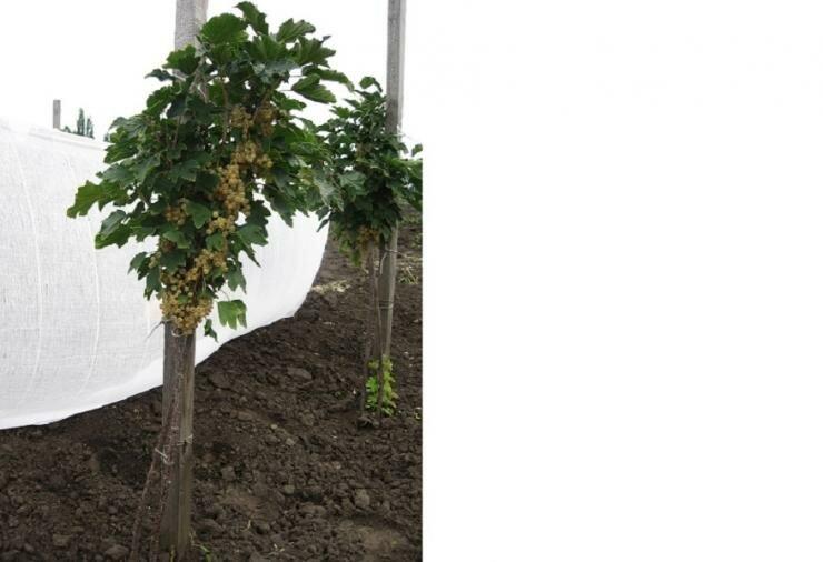 Как посадить и вырастить бесшипный крыжовник на своем участке