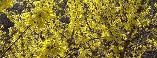 Форзиция: декоративный кустарник, обильно цветущий весной