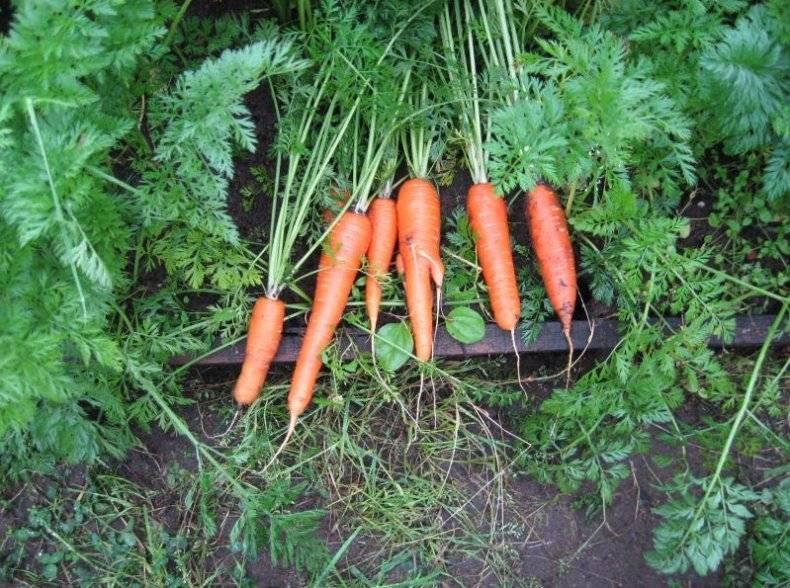 Морковь королева осени: отзывы и фото, описание и характеристики сорта