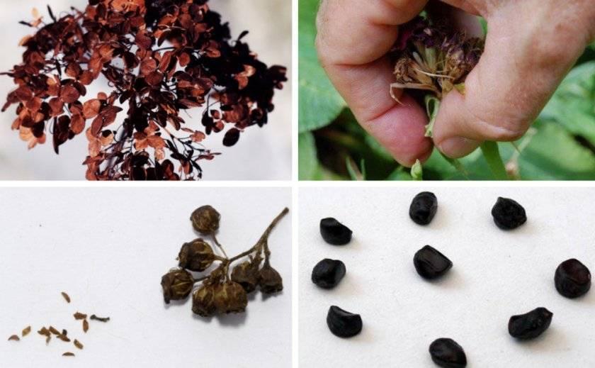 Выращивание гортензии из семян - подготовка к посадке, выращивание саженцев в комнатных условиях и в саду, основной уход
