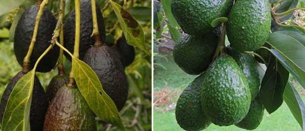 Необычный сорт авокадо — хасс (черный). полезные свойства авокадо