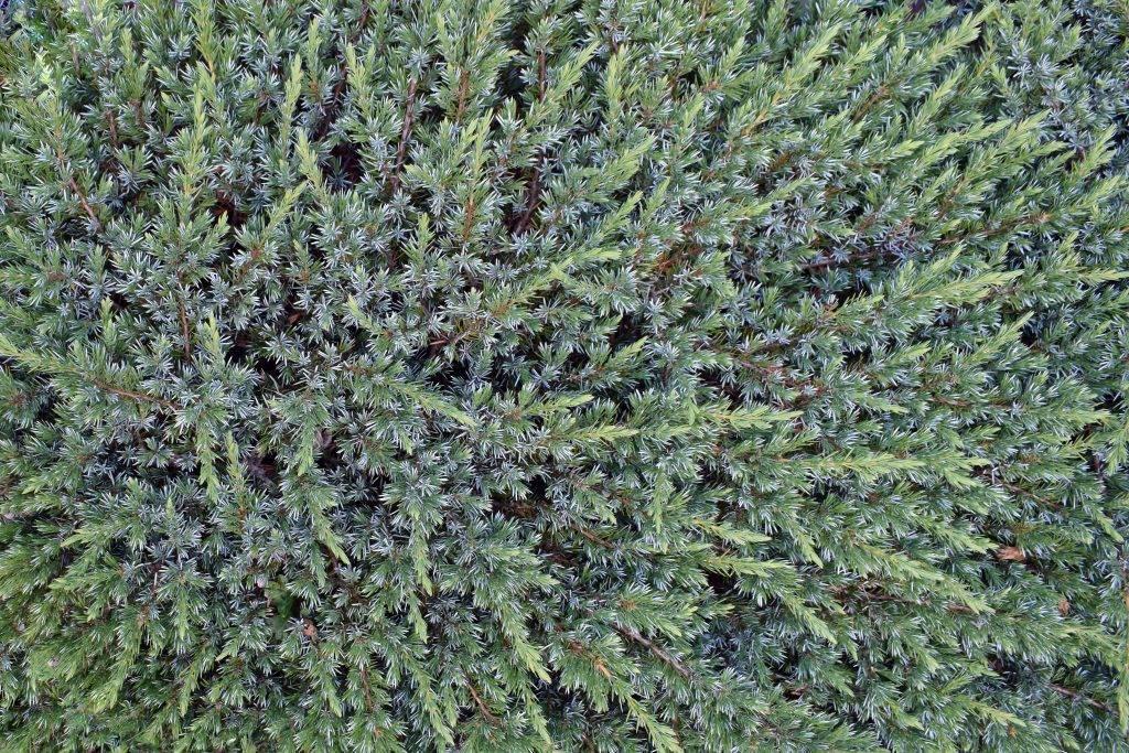 Можжевельник чешуйчатый блю карпет: описание, фото в ландшафтном дизайне