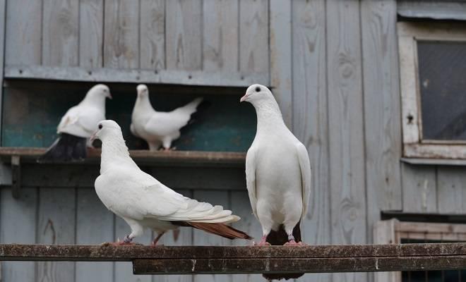 Бакинские голуби (19 фото): особенности бойных «бакинцев», широкохвостые и многоперые, высоколетные и мраморные виды, шейки и зеркальные птицы