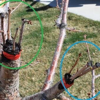 Посадка и размножение вишни: основные правила и полезные советы