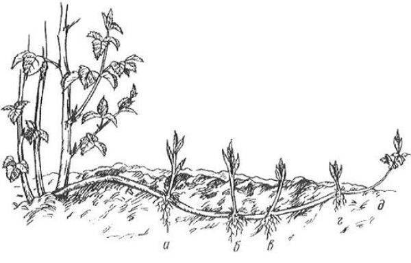 Садовая ежевика: посадка и уход, фото, описание выращивания, полезные свойства и размножение