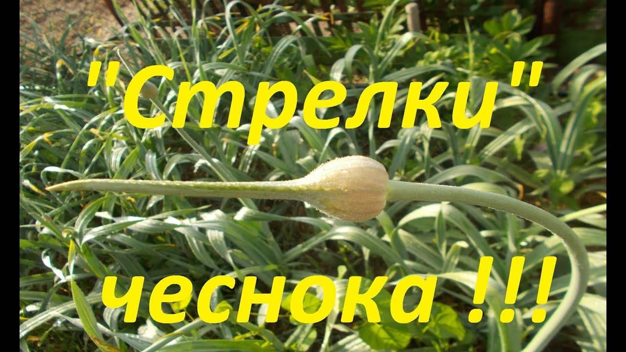 Посадка, выращивание и уход за яровым чесноком в открытом грунте, нужно ли завязывать и когда