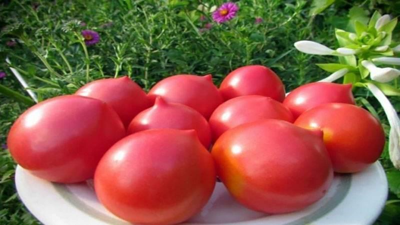 Томат кустанайская пипочка — описание сорта, отзывы, урожайность