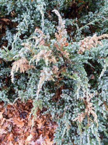 Хвойные в горшках – выращивание на балконе и террасе