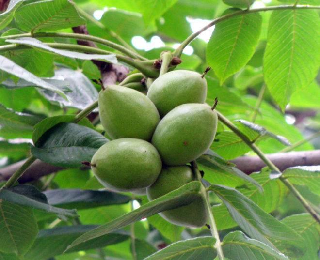 Особенности выращивания маньчжурского ореха на урале