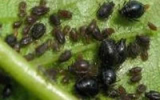Чем обработать сливу от червей в плодах: химические и народные средства, чем опрыскать