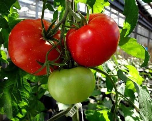 Характеристика и описание томата «сибирский скороспелый»