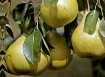 Описание сорта груши дюшес