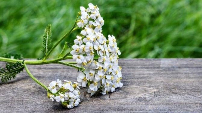 Цветок бессмертник: особенности, правила выращивания, польза